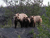 Brown Bears, Photo by Michael Jameson 2008.